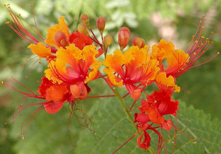 Dwarf poinciana red orange yellow flower