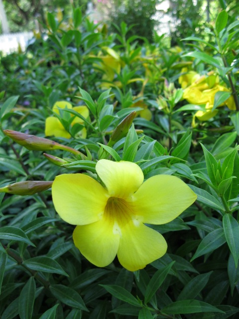 Name That Plant Ix Answer Dwarf Allamanda Edison And Ford Winter