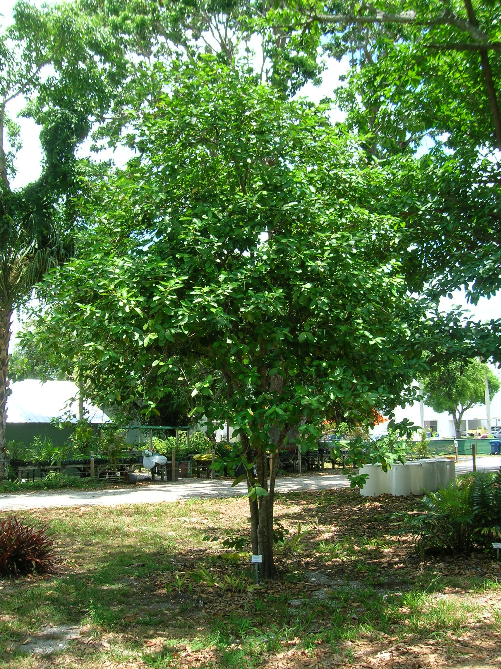 Plant Spotlight Quot Buttered Popcorn Quot Tree Edison And Ford