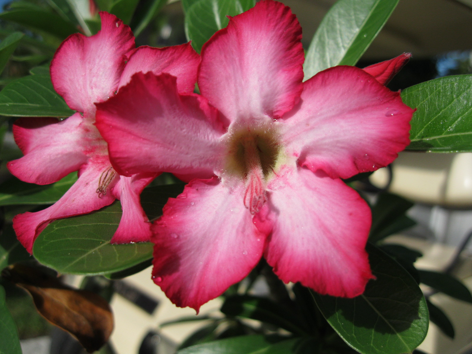 Name That Plant Win That Plant Xiv Answer Desert Rose Edison And