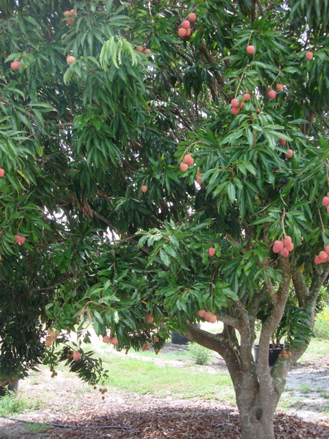 Pictures Of Lychee Fruit Tree