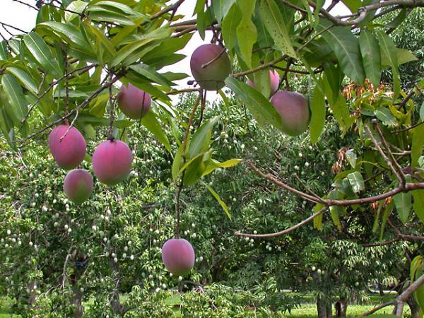 Tropical Fruit Trees That Grow Best In