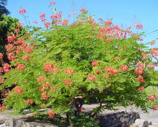 Dwarf Poinciana Tree Shrub Bush